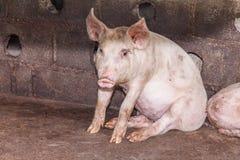 Świnia w gospodarstwie rolnym Obrazy Stock