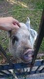 Świnia w ogródzie Zdjęcie Stock
