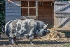 Świnia z domem Obraz Stock