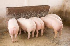 świnie Obraz Royalty Free