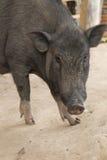 świnie Obraz Stock