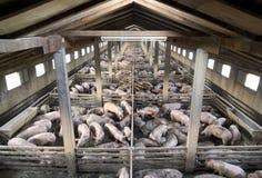 świnie Zdjęcia Stock