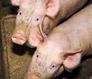 Świnie je od synkliny Fotografia Stock