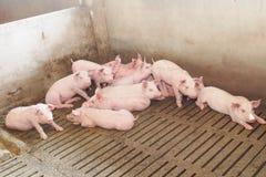 Świnie na gospodarstwie rolnym Obrazy Royalty Free