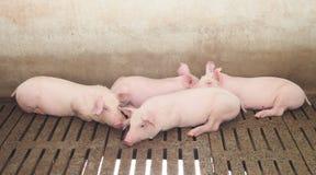 Świnie na gospodarstwie rolnym Zdjęcie Stock