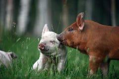 Świnie Uszate Zdjęcie Stock