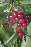 Wiśnie wiesza na drzewie z liśćmi Fotografia Stock
