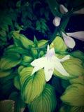 Winieta jaskrawa - zielony i biały kwiat Zdjęcia Royalty Free