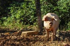 Świniowata pozycja zdjęcia royalty free