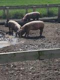 Świniowata rodzina Zdjęcia Stock