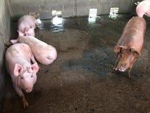 Świniowaty gospodarstwo rolne Obrazy Royalty Free