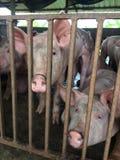 Świniowaty gospodarstwo rolne Zdjęcia Royalty Free