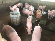 Świniowaty gospodarstwo rolne Zdjęcie Royalty Free
