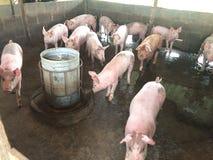 Świniowaty gospodarstwo rolne Obrazy Stock