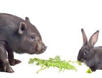 świniowaty królik Zdjęcie Royalty Free
