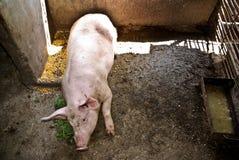 świniowaty portret Obraz Stock