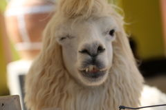 Wink~. Again with this alpaca. WINK Royalty Free Stock Image