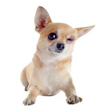 Wink of chihuahua. Wink of  purebred  puppy chihuahua in front of white background Royalty Free Stock Photography