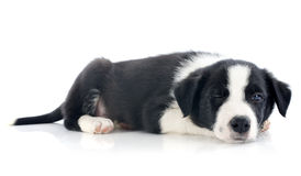 Wink of puppy border collie Stock Image