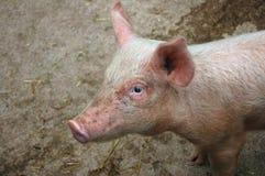 Świnka. Zdjęcie Royalty Free