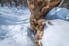 Winkelhaak in het bos stock foto's