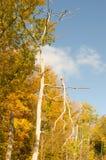 Winkelhaakiep bij Landis-Arboretum Royalty-vrije Stock Afbeeldingen