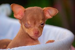 Winking Chihuahua. Chihuahua puppy winking royalty free stock image