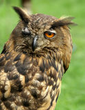 Winking eagle owl. At daylight Royalty Free Stock Photography