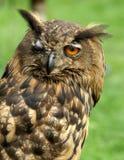 Winking eagle owl Royalty Free Stock Photography