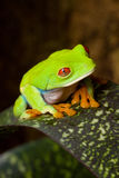 Winking Frog Agalychnis Royalty Free Stock Image