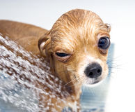 Winking funny chihuahua taking a shower Stock Photo