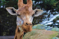 Winking Giraffe. A close up of a giraffe (Giraffa camelopardalis) winking taken at Wellington Zoo Royalty Free Stock Photo