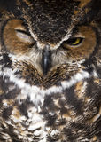 Winking great horned owl Royalty Free Stock Image