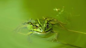 Winking green Frog floating in still water. stock video