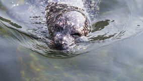 Winking Harbor seal royalty free stock images