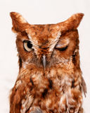 Winking owl. Portrait of owl with one eyes closed winking, white background Stock Images