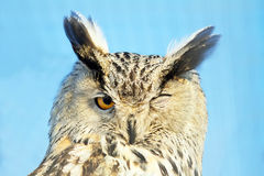 Winking Owl Royalty Free Stock Image
