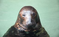 Winking seal Stock Photography