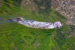 Winking Seal Royalty Free Stock Image