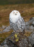 Winking Snowy Owl Royalty Free Stock Image