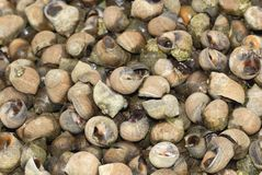 Winkles - seafood, uncooked Royalty Free Stock Photography