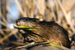 Winner. The muskrat (Ondatra zibethicus), the only species in genus Ondatra, is a medium-sized semi-aquatic rodent native to North America, and introduced in Royalty Free Stock Images