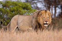 Winner. Young male lion struts his stuff after domination of an older rival Stock Images
