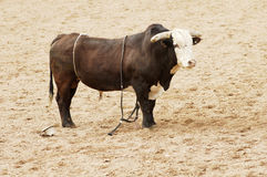 The Winner. This bull looks defiant after throwing his rider in a rodeo event Royalty Free Stock Images