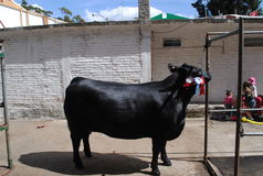 Winner angus cow. Portray of a black angus cow Royalty Free Stock Images