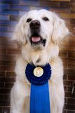 Winner dog Stock Photography