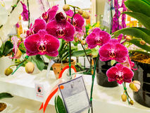 Winner indonesia orchid chalenge 2014 in bangkok Stock Photography