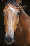 Winner racehorse. A racehorse portrait with a black background behind Stock Photos