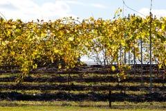 Winniców gronowi winogrady w zima plecy zaświecali popołudniowym słońcem Zdjęcia Stock