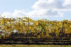 Winniców gronowi winogrady w zima plecy zaświecali popołudniowym słońcem Zdjęcie Stock